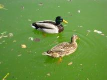 Anatre che nuotano in acqua sporca Immagine Stock