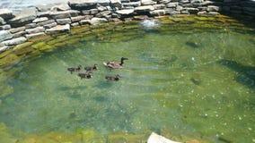 Anatre che nuotano in fontana Fotografia Stock Libera da Diritti