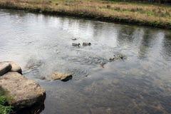 Anatre che nuotano a monte Immagine Stock Libera da Diritti