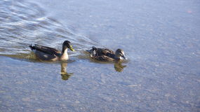 Anatre che nuotano nel fiume fotografia stock libera da diritti