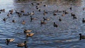 Anatre che nuotano nel fiume stock footage