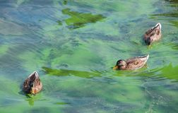 Anatre che nuotano nel lago che fiorisce con le alghe Immagine Stock