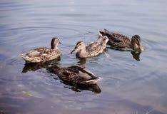 Anatre che nuotano nel lago nel parco Immagini Stock
