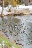Anatre che nuotano nell'acqua fotografia stock libera da diritti