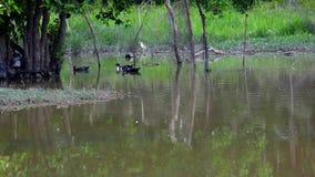 Anatre che nuotano nello stagno stock footage
