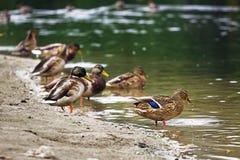 Anatre che nuotano nello stagno Immagine Stock Libera da Diritti