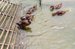 Anatre che nuotano nello stagno Fotografia Stock Libera da Diritti