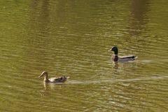 Anatre che nuotano quello dietro altra quella - la Francia Immagine Stock