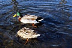 Anatre che nuotano su un lago Immagini Stock Libere da Diritti