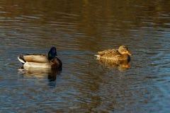 Anatre che nuotano su un lago di inverno Fotografie Stock