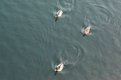 Anatre che nuotano su una vista del lago da sopra Fotografia Stock