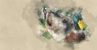 Anatre che nuotano su uno stagno Fotografia Stock Libera da Diritti
