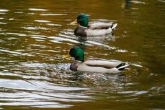 Anatre che nuotano sul lago Immagini Stock Libere da Diritti