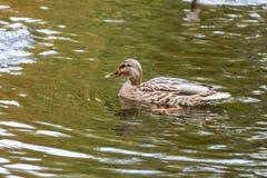 Anatre che nuotano sul lago Immagine Stock