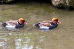 Anatre che nuotano sul lago Fotografie Stock