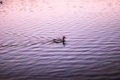 Anatre che nuotano sull'acqua Fotografia Stock Libera da Diritti