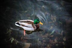 Anatre che nuotano sull'acqua Fotografia Stock