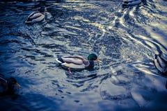 Anatre che nuotano sull'acqua Fotografie Stock