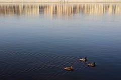 Anatre che nuotano sull'acqua blu con la riflessione Immagine Stock Libera da Diritti