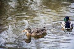 Anatre che nuotano sulla superficie dell'acqua Immagini Stock Libere da Diritti