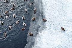 Anatre che nuotano sullo stagno di inverno Immagini Stock
