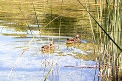 Anatre che nuotano in un lago Fotografia Stock Libera da Diritti