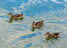 Anatre che nuotano in un lago Fotografia Stock