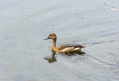 Anatre che nuotano in un lago Fotografie Stock
