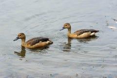 Anatre che nuotano in un lago Immagini Stock