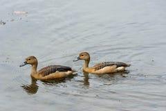 Anatre che nuotano in un lago Immagini Stock Libere da Diritti