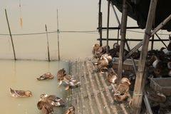 Anatre che nuotano in uno stagno Fotografie Stock
