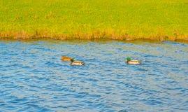 Anatre che nuotano in uno stagno al sole alla caduta Fotografie Stock Libere da Diritti