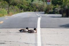 Anatre che riposano sulla strada nella riserva ecologica -2 della baia superiore di Newport Fotografia Stock Libera da Diritti