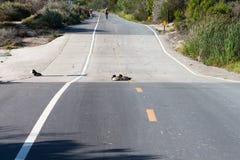 Anatre che riposano sulla strada nella riserva ecologica -3 della baia superiore di Newport Immagini Stock