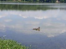 Anatre che scivolano sull'acqua Fotografie Stock