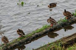 Anatre che si siedono su una connessione l'acqua immagine stock libera da diritti
