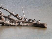 Anatre che si siedono sul legname galleggiante Fotografie Stock Libere da Diritti