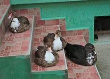 4 anatre che si siedono sulle mattonelle delle scale all'entrata anteriore della casa immagini stock