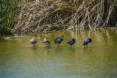 Anatre che stanno in una fila in acqua Fotografia Stock