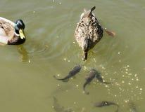 Anatre con i pesci Immagine Stock