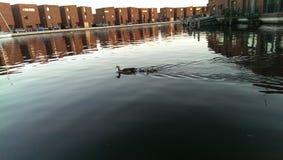 Anatre del bambino che zwimming con l'anatra della mamma Fotografia Stock