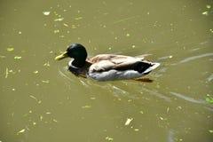 Anatre della fauna selvatica sull'acqua Fotografie Stock Libere da Diritti