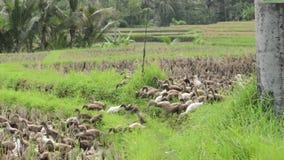 Anatre di Bali video d archivio