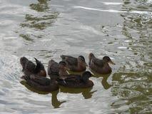 Anatre di Mallard in acqua con le ombre fotografia stock