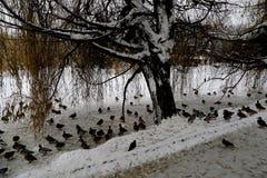 Anatre di Mallard nel parco della città di Saratov immagine stock libera da diritti