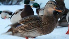 Anatre di Mallard nell'inverno nella neve nel parco della città Alimentazione di del pollame video d archivio
