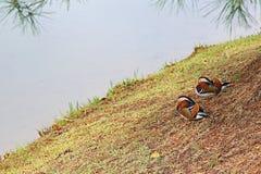 Anatre di mandarino Fotografia Stock Libera da Diritti