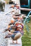 Anatre di mandarino, degli uccelli acquatici o galericulata del Aix Immagine Stock Libera da Diritti