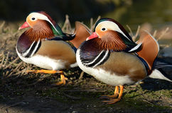 Anatre di mandarino maschii Fotografia Stock
