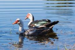 Anatre di Muscovy che nuotano Immagine Stock Libera da Diritti
